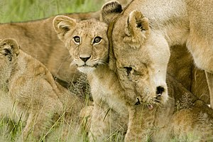 Picture of A lion cub with his mum.