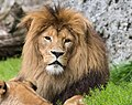 Lion Image 3.jpg