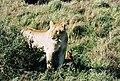 Lions by a shrub in the Masi Mari.jpg