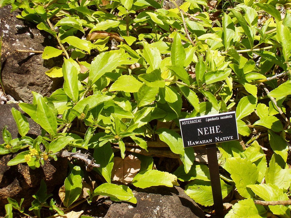 Lipochaeta Succulenta Wikidata