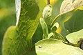 Liriodendron tulipifera - tulip tree 0096.jpg