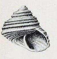 Lirularia optabilis 001.jpg