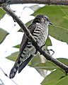 Little Bronze-Cuckoo (Chrysococcyx minutillus) (986886266).jpg