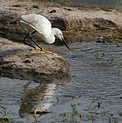 Little Egret (Egretta garzetta)- Breeding plumage- catching prey in Hyderabad, AP W IMG 7656.jpg