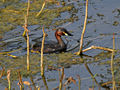 Little Grebe (Tachybaptus ruficollis) just coming out of water in Hyderabad, AP W IMG 7613.jpg