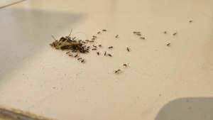 File:Little black garden Ant transports Patanga (Insect) time lapse.webm