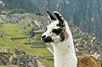 Llama on Machu Picchu.jpg