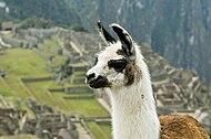 Llama on Machu Picchu