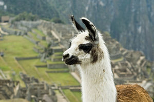 Machu Picchu - Llama with Machu Picchu ruins in background.