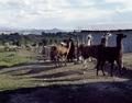 Llama ranch near Hotchkiss, Colorado LCCN2011631814.tif