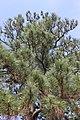 Loblolly Pine at Bastrop State Park, Texas 1.jpg