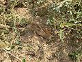 Locusta m. migratorioides L5 brown morph.jpg
