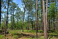 Longleaf pine upland habitat, Big Thicket National Preserve, Turkey Creek Unit, Tyler Co. Texas; 1 May 2020.jpg