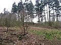 Longville Plantation - geograph.org.uk - 406440.jpg