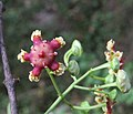 Lophopetalum wightianum flowers at Makutta (23).jpg