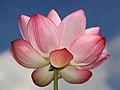Lotus 005.jpg