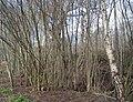 Lower Hucksteep Wood - geograph.org.uk - 1726946.jpg