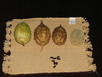 Luffa operculata - Increasing stages of maturity of Luffa operculata fruit. The seeds are also shown.