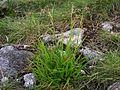 Luzula spadicea-1T5.jpg