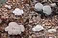Lycoperdon perlatum (GB= Common Puffball, D= Flaschenstäubling, F= Vesses-de-loup perlées, NL= Parelstuifzwam) at Oud Reemst Arnhem-Ede - panoramio.jpg
