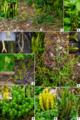 Lycopodiaceae in Japan.png