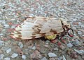 Lymantria mathura 445818.jpg