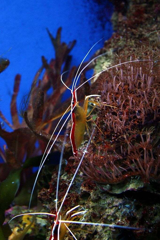 File:Lysmata amboinensis - Aquarium Museum (Liege).JPG - Wikimedia ...