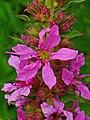 Lythrum salicaria 003.JPG
