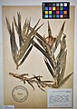MNH DA 017-PAND-041 Freycinetia multiflora Merr.jpg