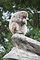 Macaca fuscata in Ueno Zoo 2019 38.jpg