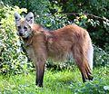 Maehnenwolf Chrysocyon brachyurus Tierpark Hellabrunn-15.jpg