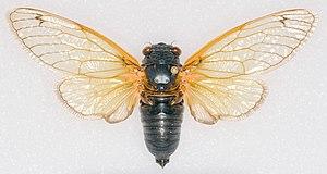 Periodical cicadas - Pinned  Magicicada tredecassini male from Brood XIX, 2011