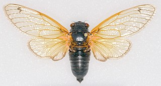 the genus of the 13-year and 17-year periodical cicadas of eastern North America