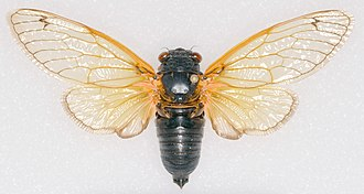Periodical cicadas - Pinned  Magicicada tredecassini male from Brood XIX, 2011