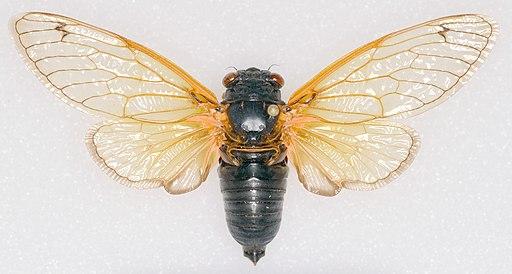 Magicicada tredecassini NC XIX male dorsal trim