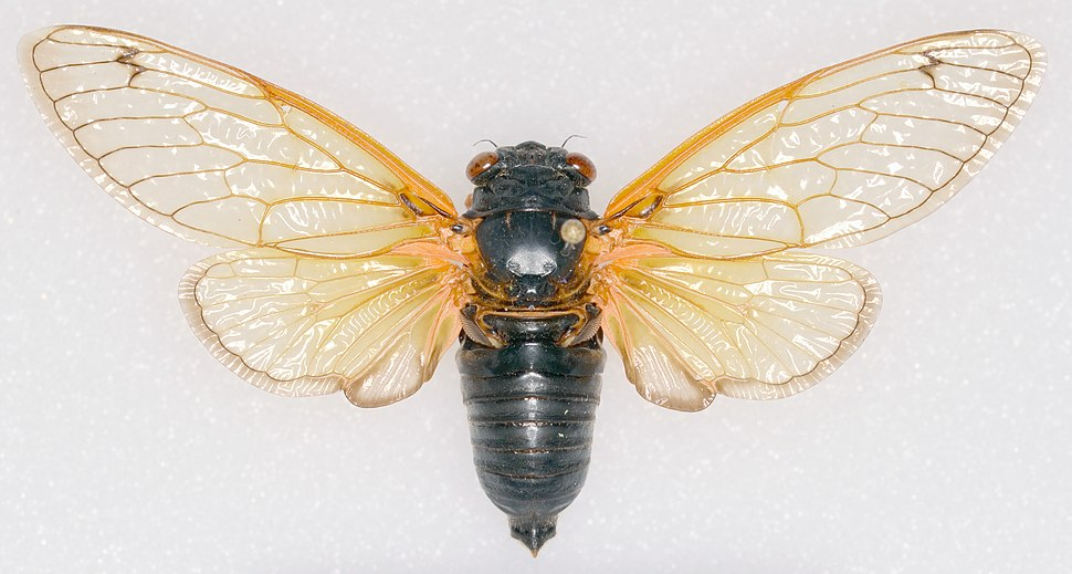 Magicicada tredecassini NC XIX male dorsal trim.jpg