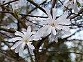 Magniolienblüte im Watthalden - Park in Ettlingen, Albtal - panoramio (3).jpg