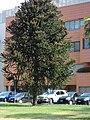Magnolia - panoramio (4).jpg