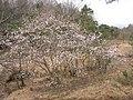 Magnolia stellata at Tabika01.jpg