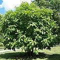 Magnolia tripetala .jpg