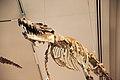 Maiacetus inuus 02- Smithsonian.JPG