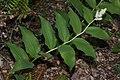 Maianthemum racemosum 4930.JPG
