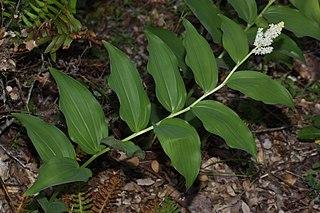 <i>Maianthemum racemosum</i> species of plant