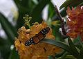 Mainau - Schmetterlingshaus - Schmetterlinge 039.jpg