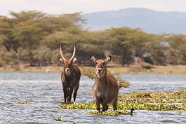 Male and female Waterbucks in Lake Naivasha.jpg