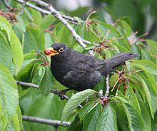 Common blackbird - Wikipedia