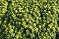 Malta - Mellieha - Triq l-Ghollieqa - Euphorbia dendroides 06 ies.jpg