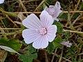 Malva neglecta FlowerCloseup 17June2009 CampoCalatrava.jpg