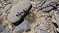 Mammillaria heyderi (25811275990).jpg