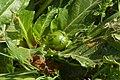 Mandragora fruit.jpg